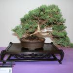 rebs-bonsai-show-21011-31