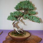 rebs-bonsai-show-21011-35