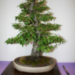 rebs-bonsai-show-21011-36