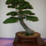 rebs-bonsai-show-21011-37