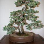 rebs-bonsai-show-21011-41