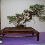 rebs-bonsai-show-21011-44