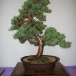 rebs-bonsai-show-21011-51