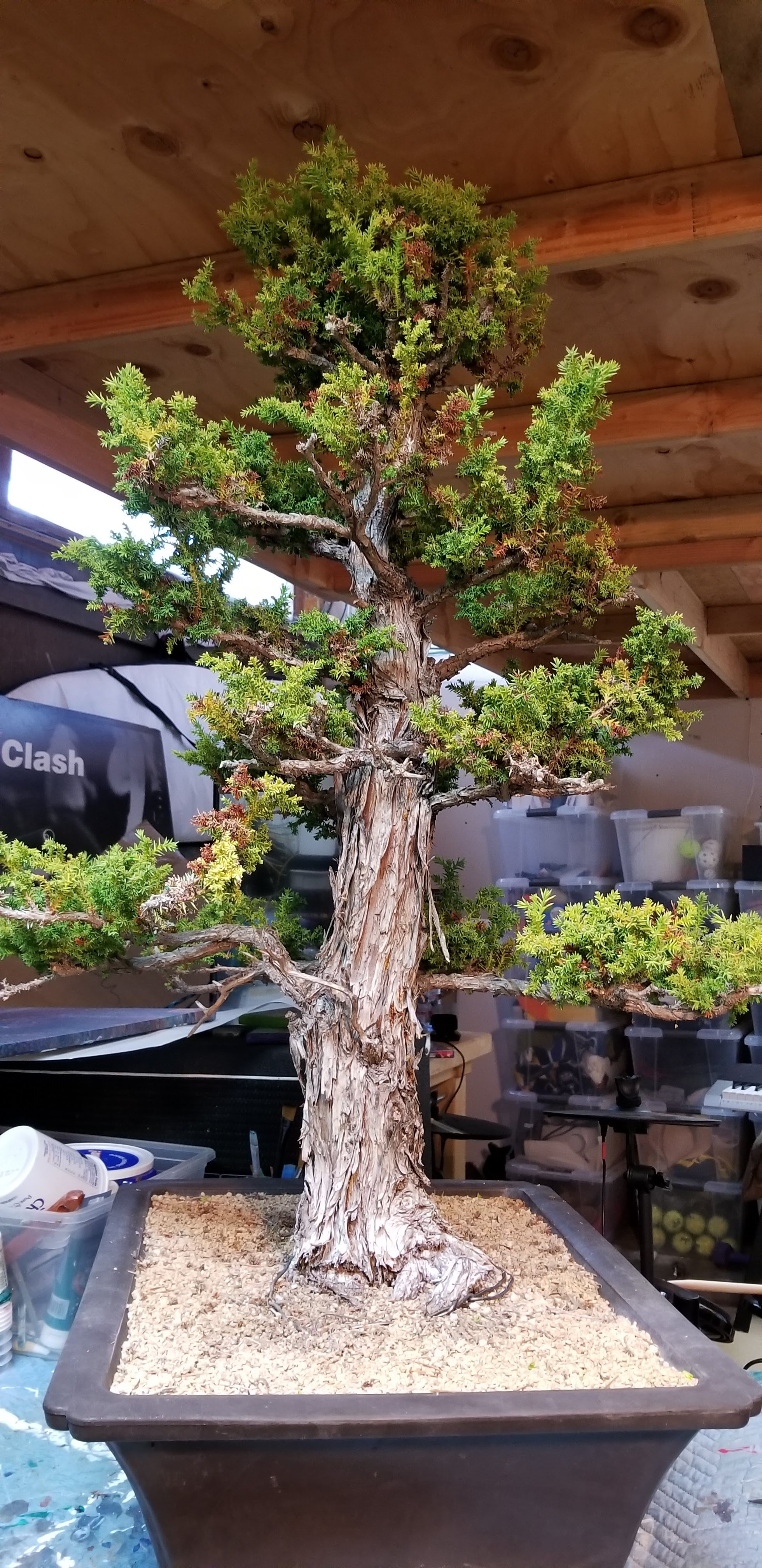 Cryptomeria Japonica Bonsai (Japanese Red Cedar)