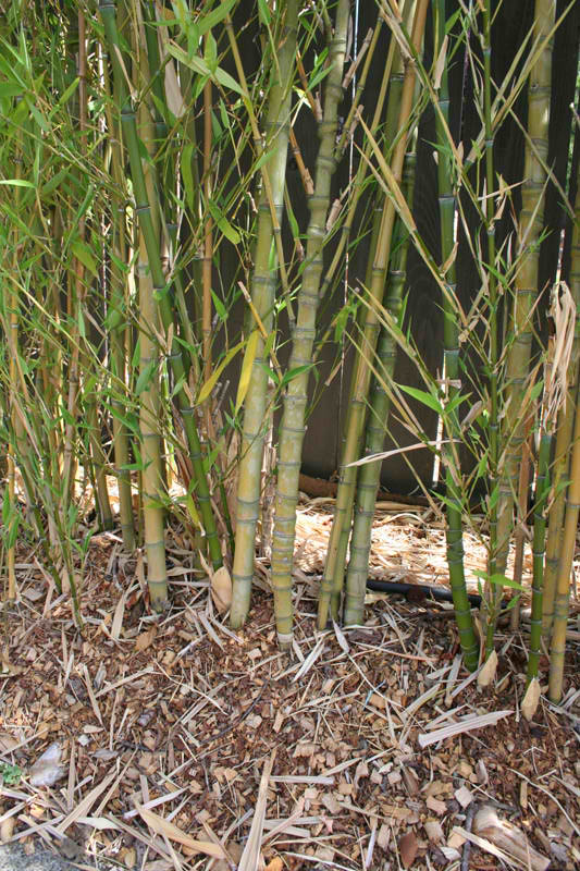 Transplanted Bamboo privacy hedge