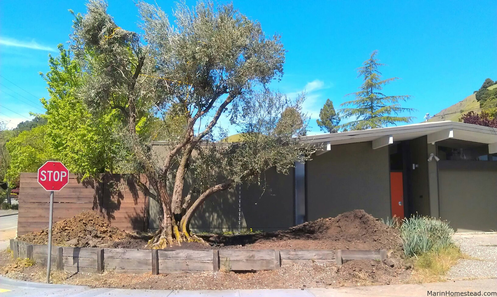 100 Year Old Olive Tree Installation