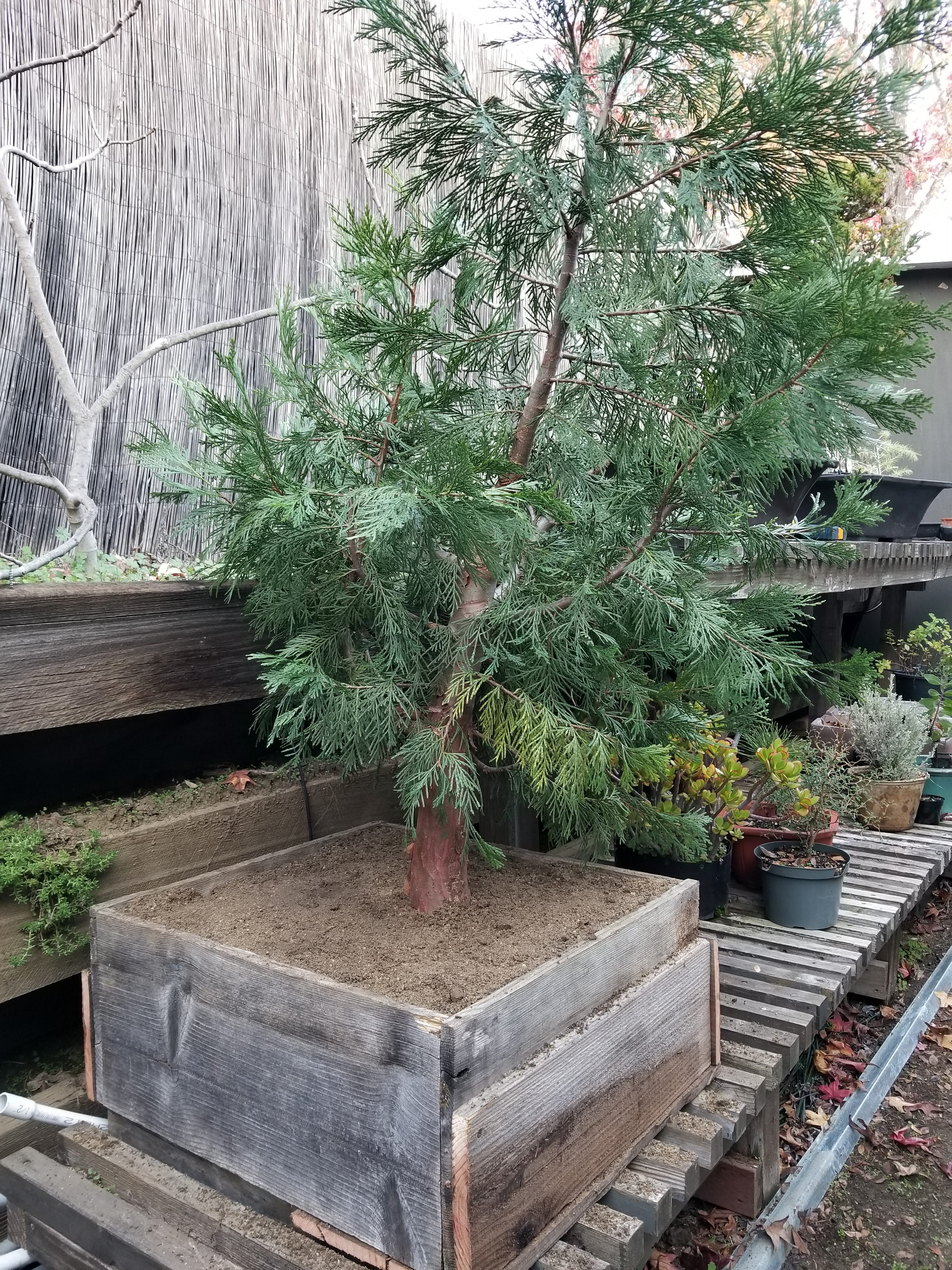 California Incense Cedar