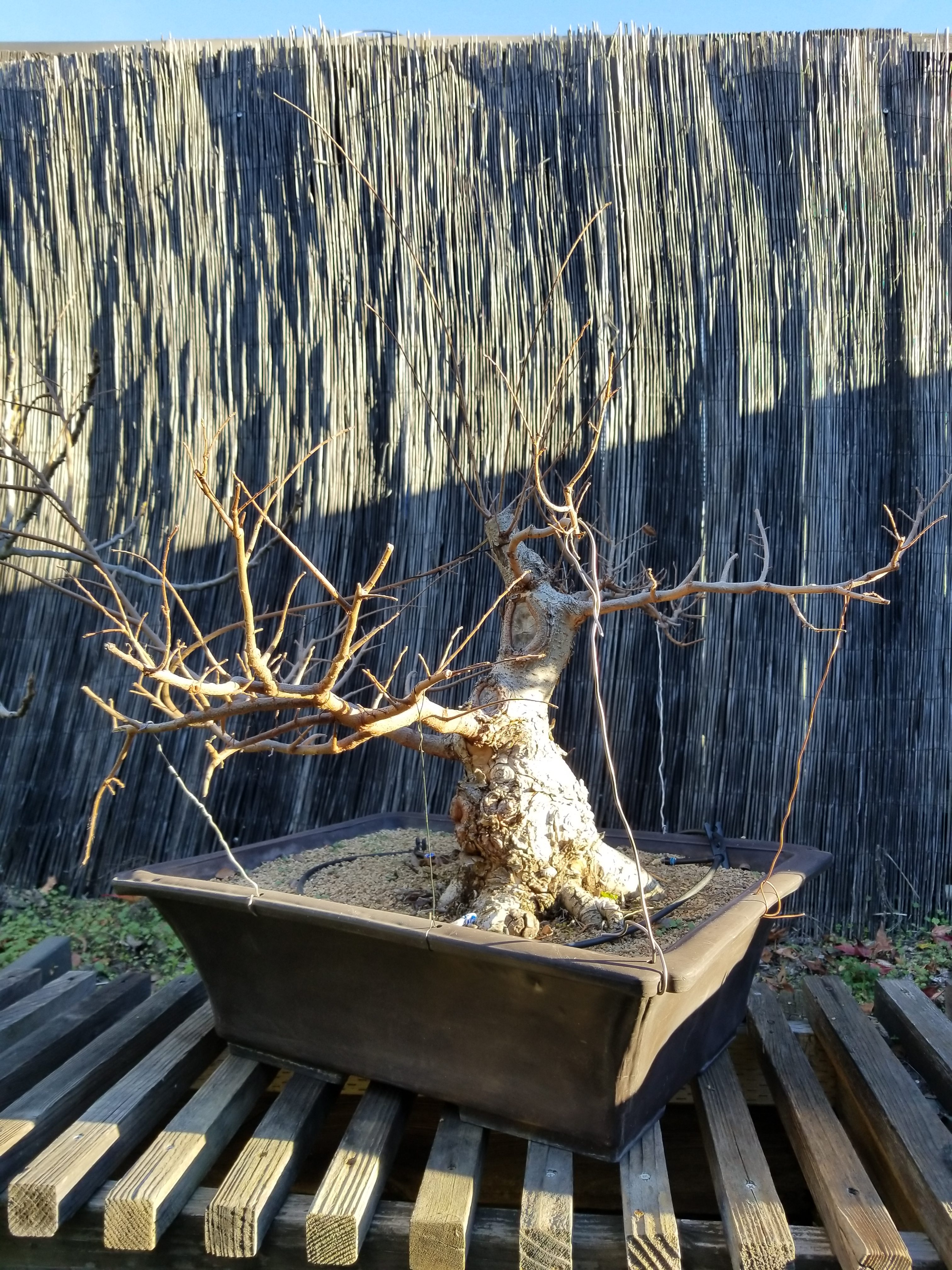 Collected Chinese Elm Bonsai